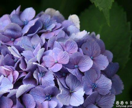 [旅行地圖] 京都.紫陽花盛開在天龍寺百花苑