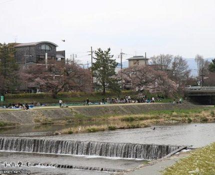 [旅行.花見京阪奈] 京都.鴨川三角洲.傳說中的跳水事件