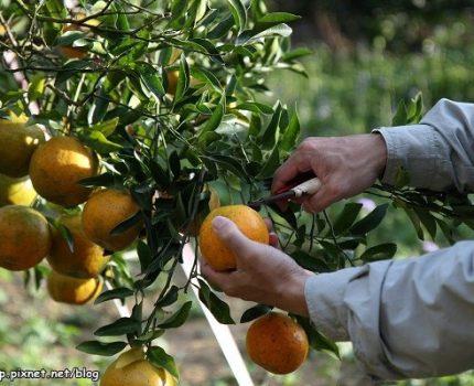 [苗栗.薑麻園] ㄚ發哥果園,去採橘子囉!