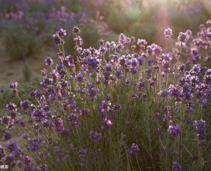 紫の北海道。夢幻薰衣草