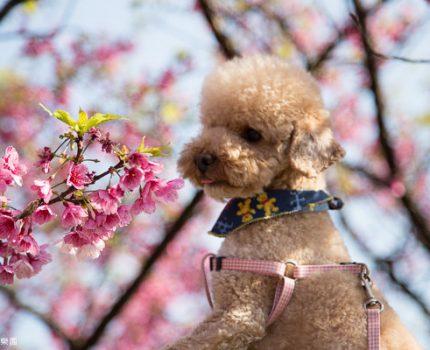 大年初二,平菁街賞櫻花