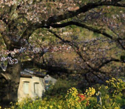[旅行.花見京阪奈] 京都.山科疏水.粉與黃的浪漫交會