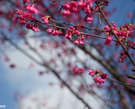 大年初四,汐止八連路的山櫻花