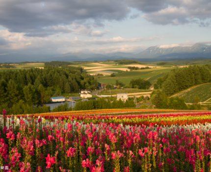 [北海道夏之旅] 美瑛。四季彩之丘的彩色花海&新榮之丘看夕陽