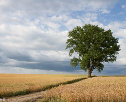 [北海道夏之旅] 美瑛。哲學之木及金黃麥田的絕版景色